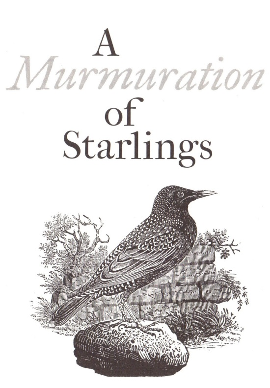 a murmuration of starlings