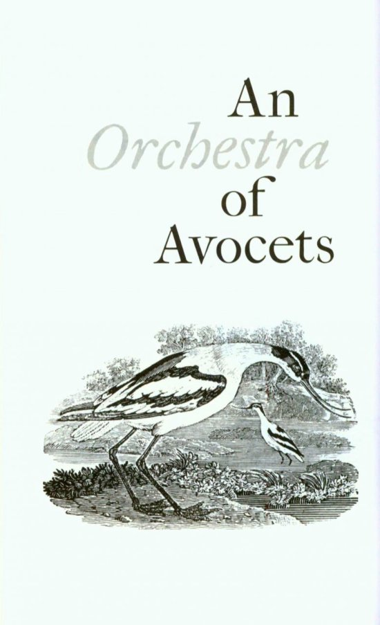 an orchestra of avocets
